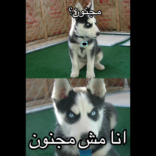 #crazy #nocrazy #arab #husky #habal #هبل #HabaLdotCom #هبل_دوت_كوم