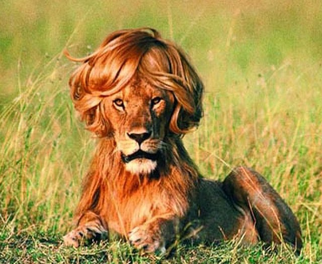 #human #effect #animals #lion #barber #haircut #habal #هبل #HabaLdotCom #هبل_دوت_كوم