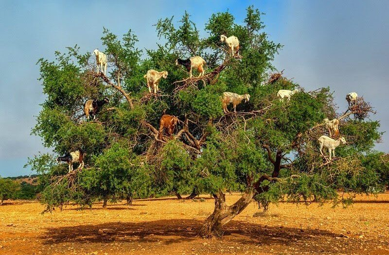 #revelation #goats #grow on #trees #habal #هبل #habaldotcom
